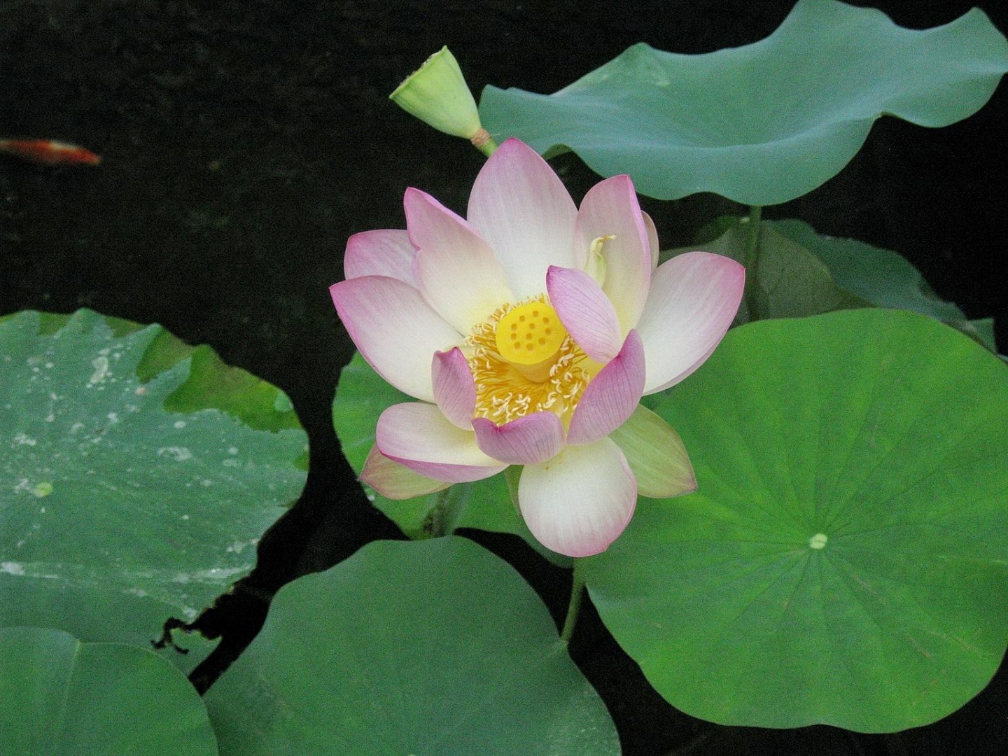 Lotus At Mother Center Exp