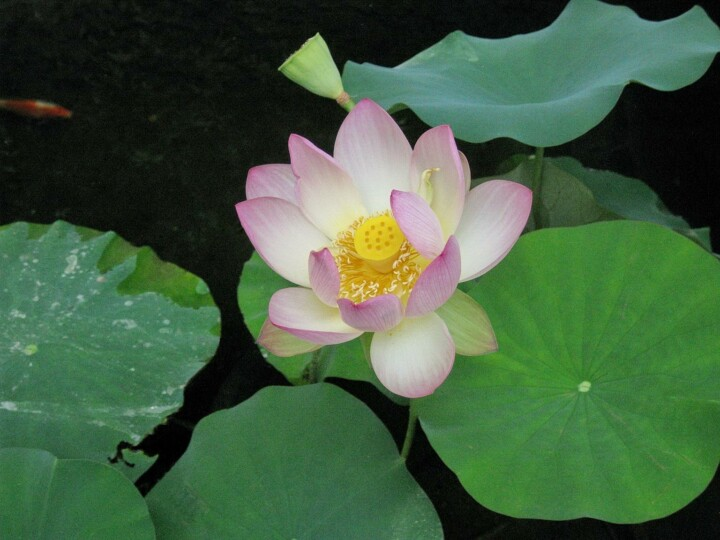 Lotus At Mother Center