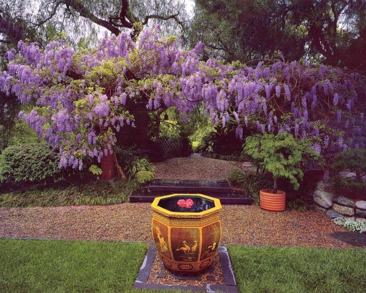 Crop 1280Px Witdth June 3 Mw Wisteria And Chinese Pot